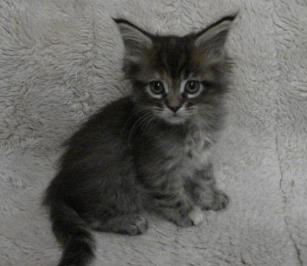 Mine Coon Kitten